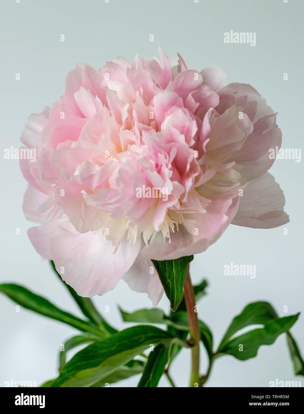 Detalle de una sola gran peonía en plena floración contra un telón de fondo blanco con varios pétalos Foto de stock