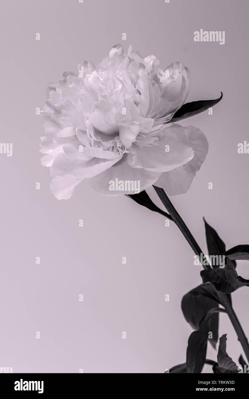 Un single doble peonía con hojas mostrando sus finos detalles sobre un fondo blanco. Foto de stock
