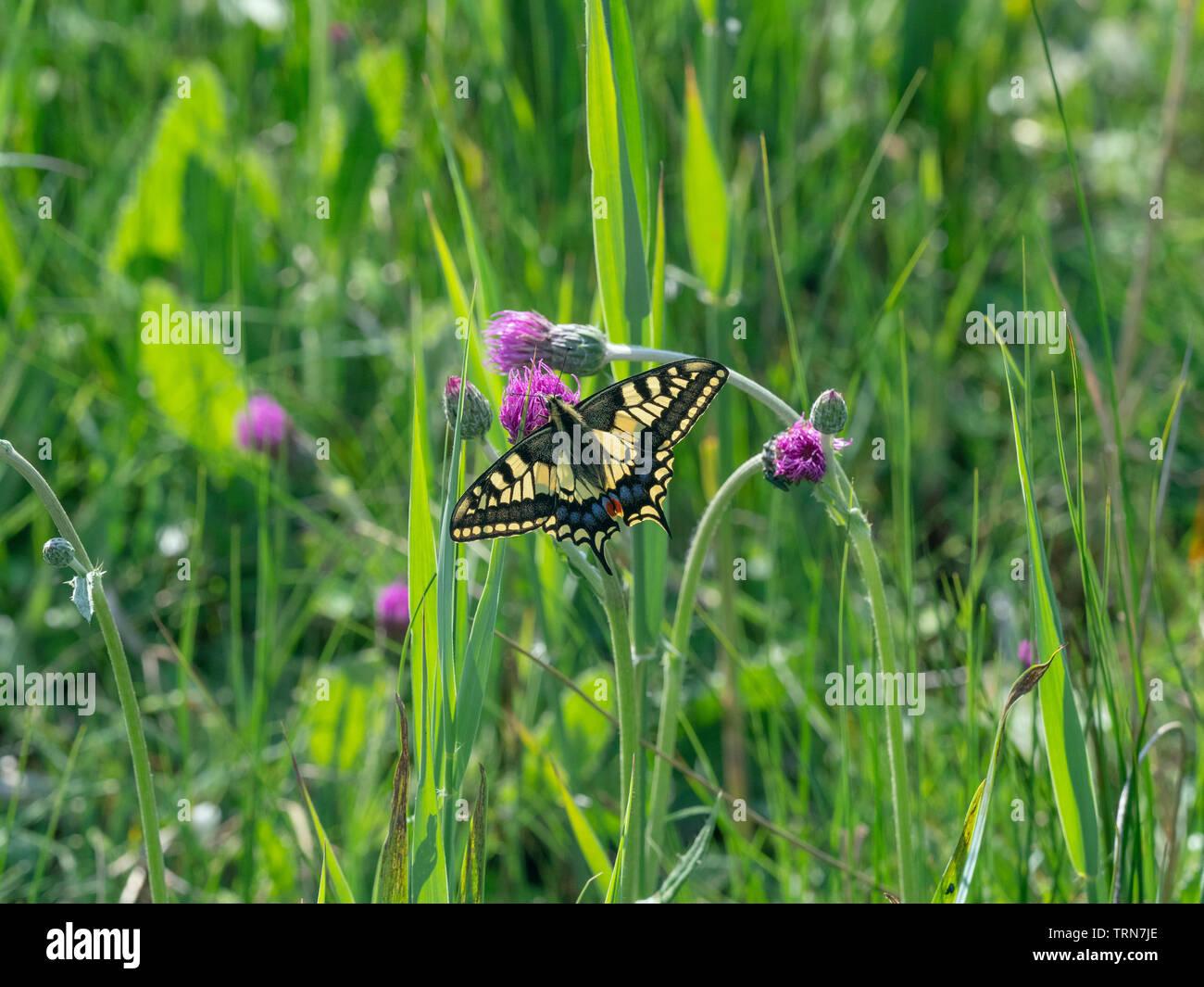 Especie de mariposa Papilio machaon en Norfolk Broads Foto de stock