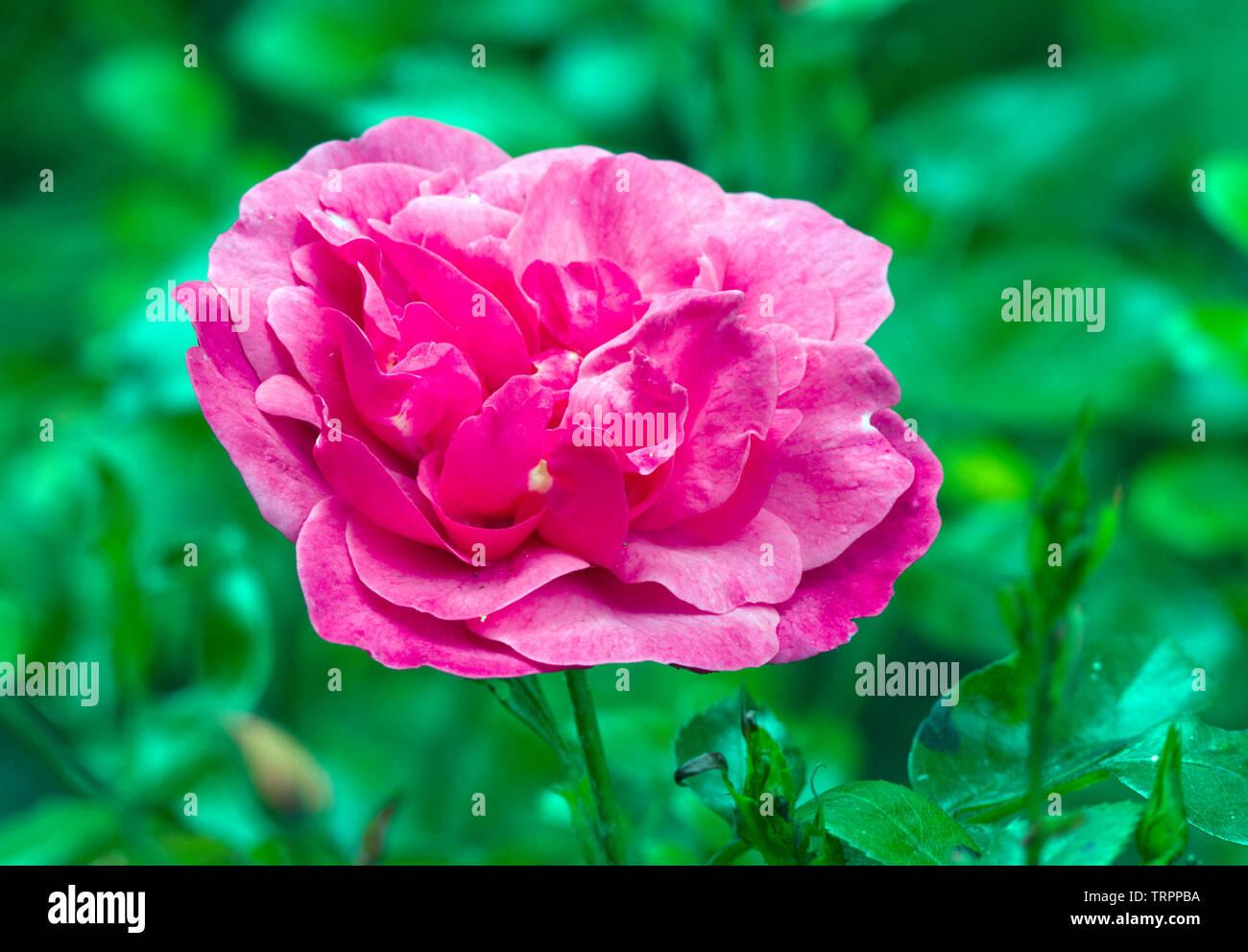 Rose Les Amoureux De Peynet Foto Imagen De Stock