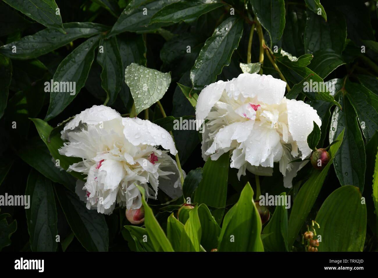 Hermosa peonía fragantes flores después de la lluvia, Foto de stock