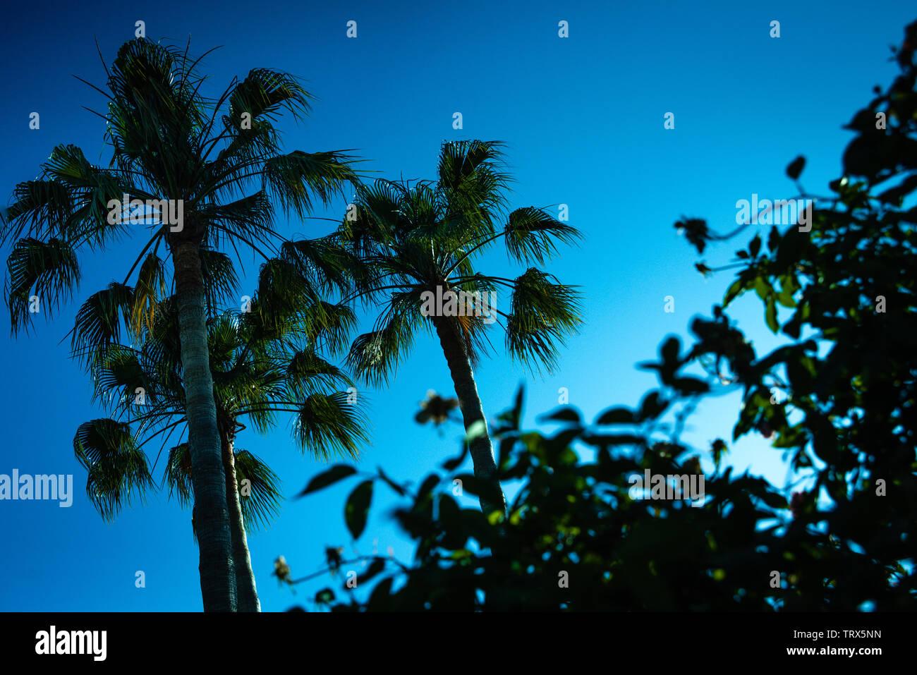 Fondo retroiluminado de un intenso azul cielo sin nubes con siluetas de palmeras y cactus en un entorno tropical. Imagen De Stock