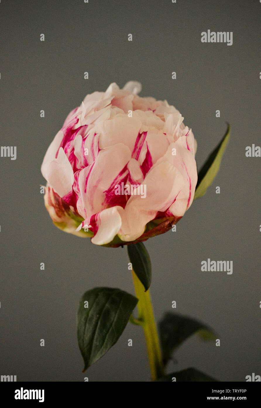 Cierre de un solo color rosa pálido a rosa oscuro con pétalos de Peonía Paeony guardia o de la familia Paeoniaceae Foto de stock