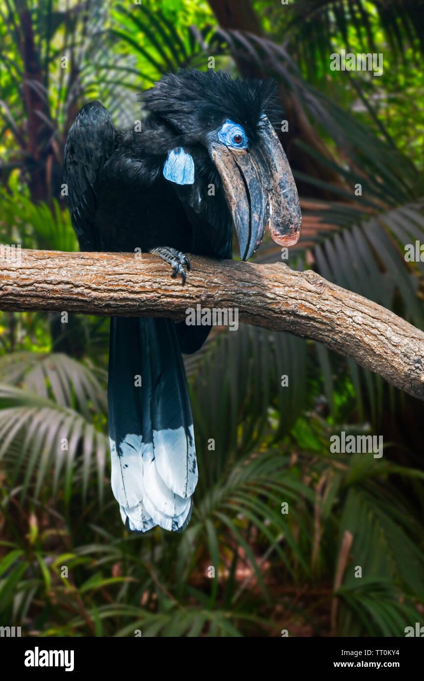 Negro-casqued / negro-casqued bucero wattled (Ceratogymna atrata bucero) macho posado en el árbol, nativo de África Foto de stock