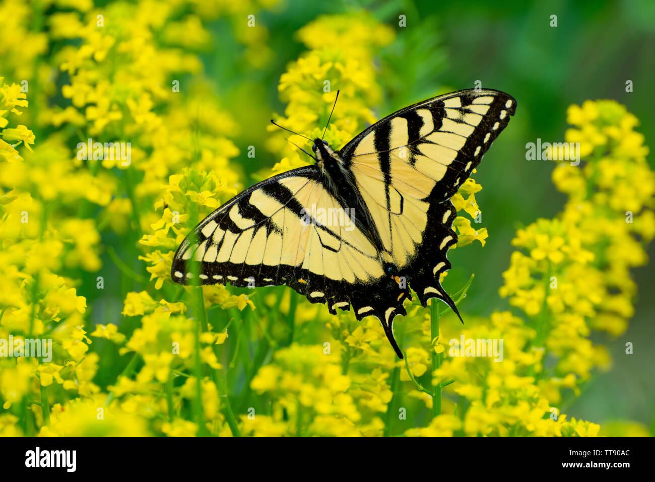 Disparo Horizontal De Una Hermosa Mariposa Papilio