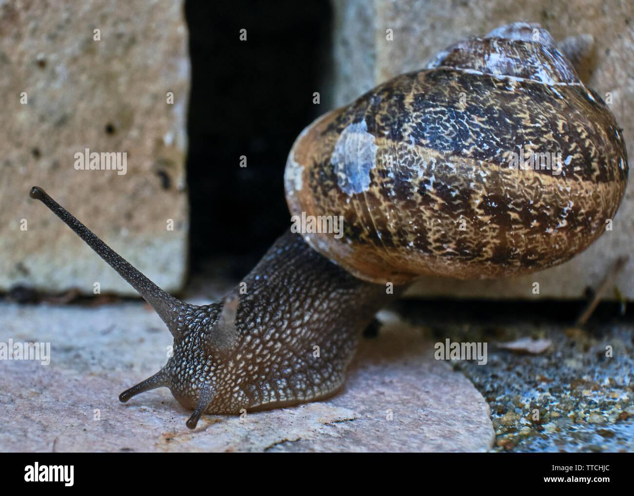 Cerrar Foto de un caracol de jardín común arrastrándose sobre un ladrillo de piedra Foto de stock