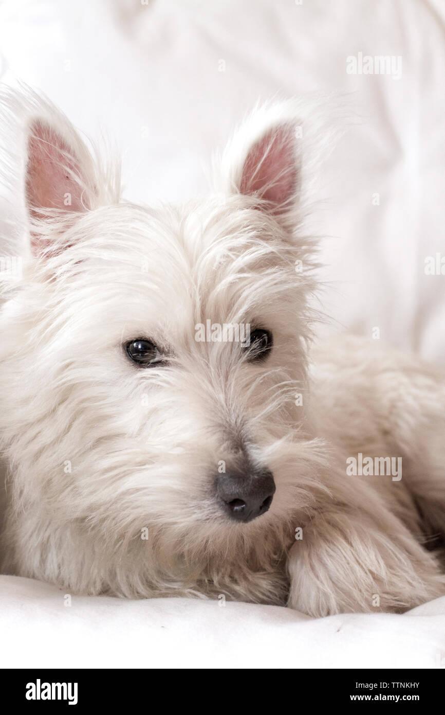 Macho joven West Highland White Terrier (westie) perro acostado en una cama blanca, mirando a la cámara. Foto de stock