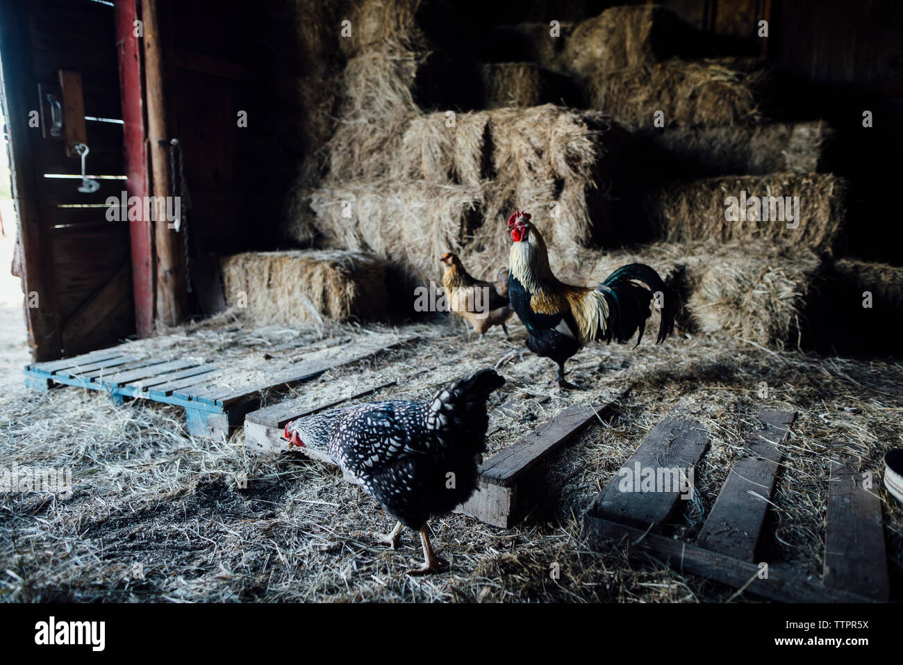 Pollos de pie en el granero Foto de stock