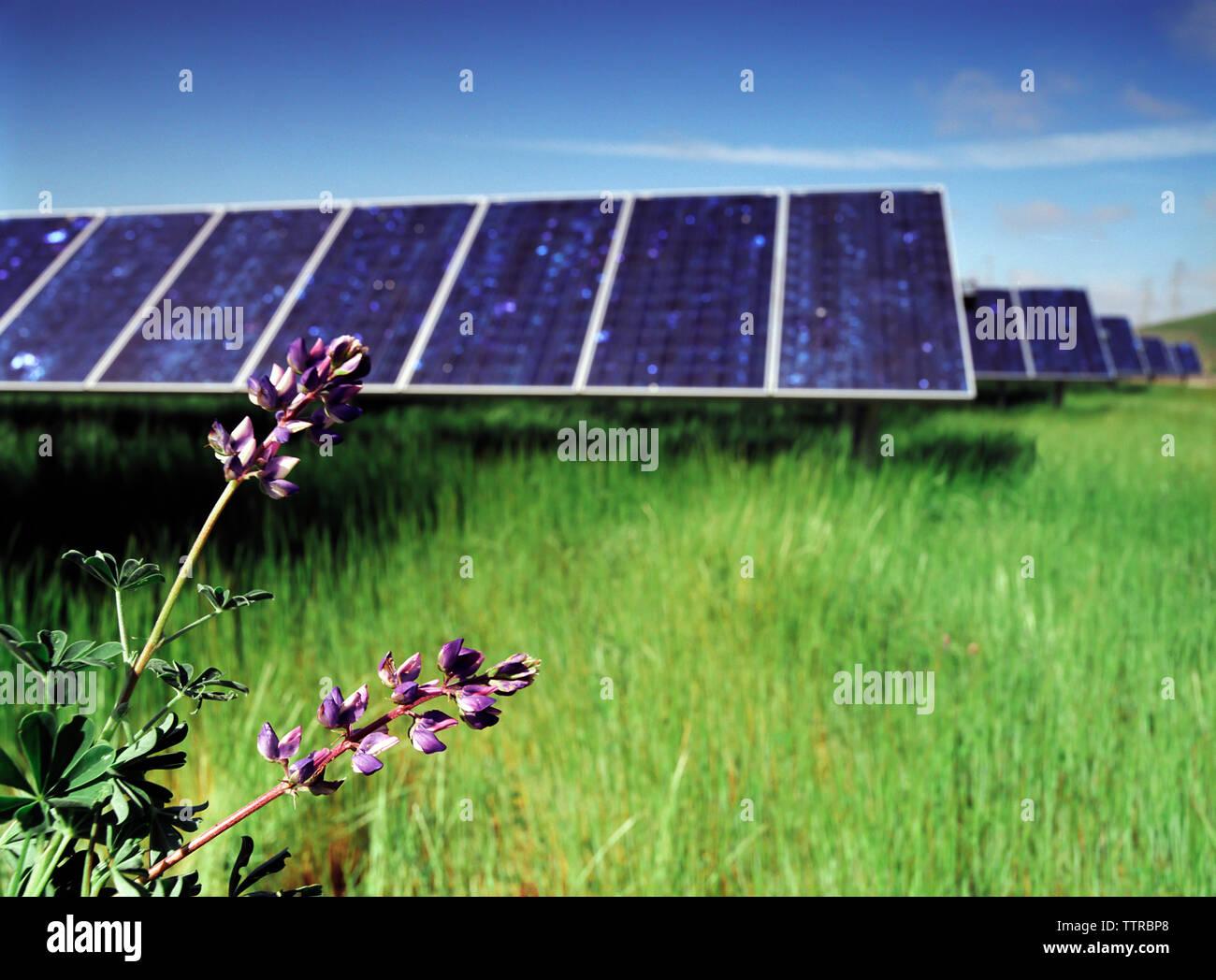 Las flores crecen en campo de panel solar contra el cielo azul Imagen De Stock
