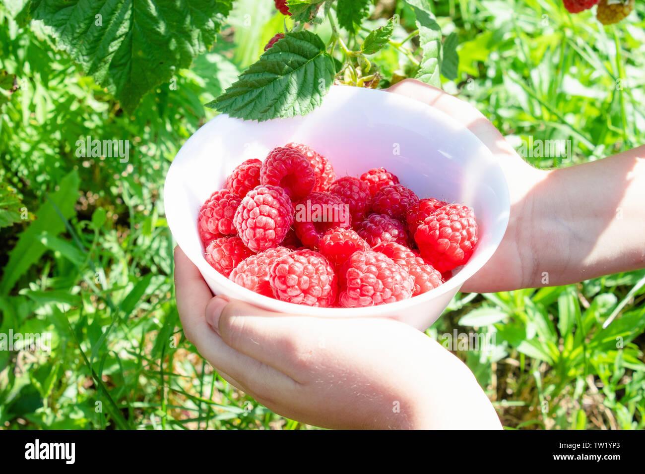 En las manos de un recipiente blanco con deliciosas frambuesas jugosas maduras en el aire abierto, closeup Foto de stock