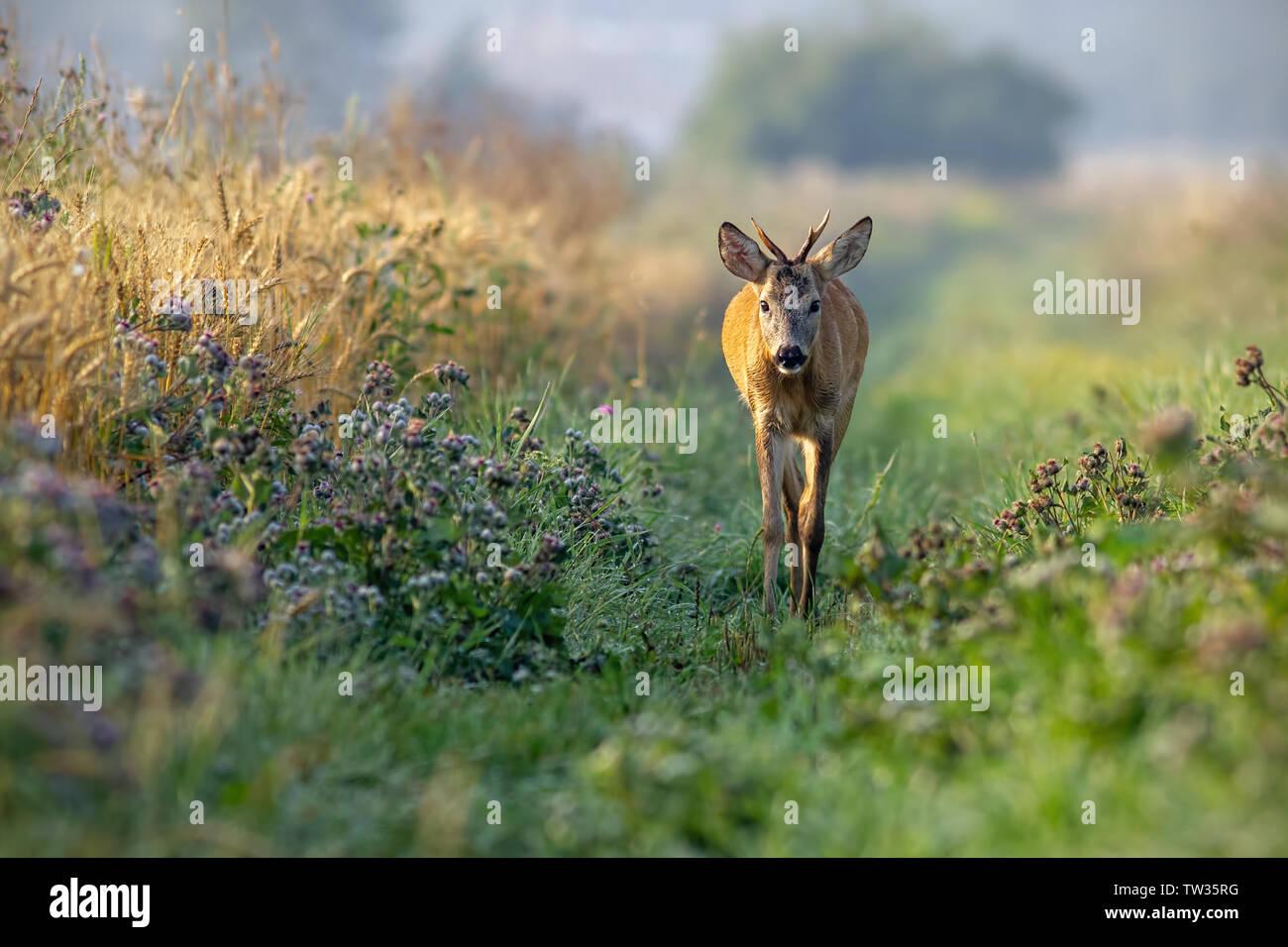 Corzo Capreolus capreolus, Buck caminando junto a campo de grano en la soleada mañana de verano. Curioso joven salvaje roebuck acercándose en la naturaleza. Foto de stock