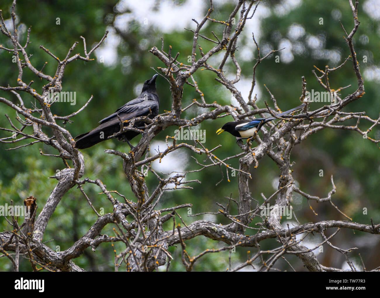 Una endémica de California amarillo-facturados Urraca (Pica nutalli) enfrenta un cuervo común (Corvus corax). California, EE.UU. Imagen De Stock