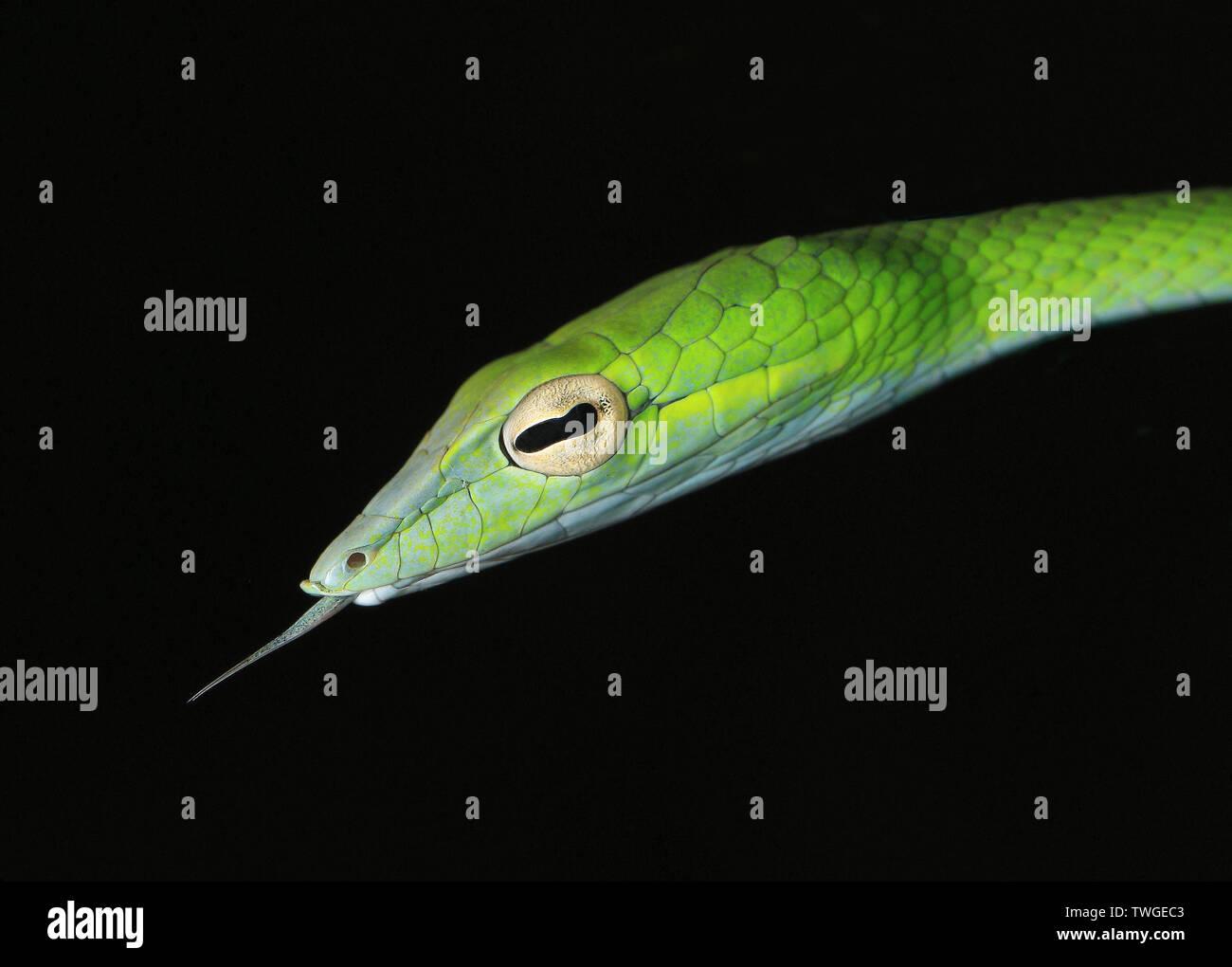 Látigo del Boie serpiente, Foto de stock