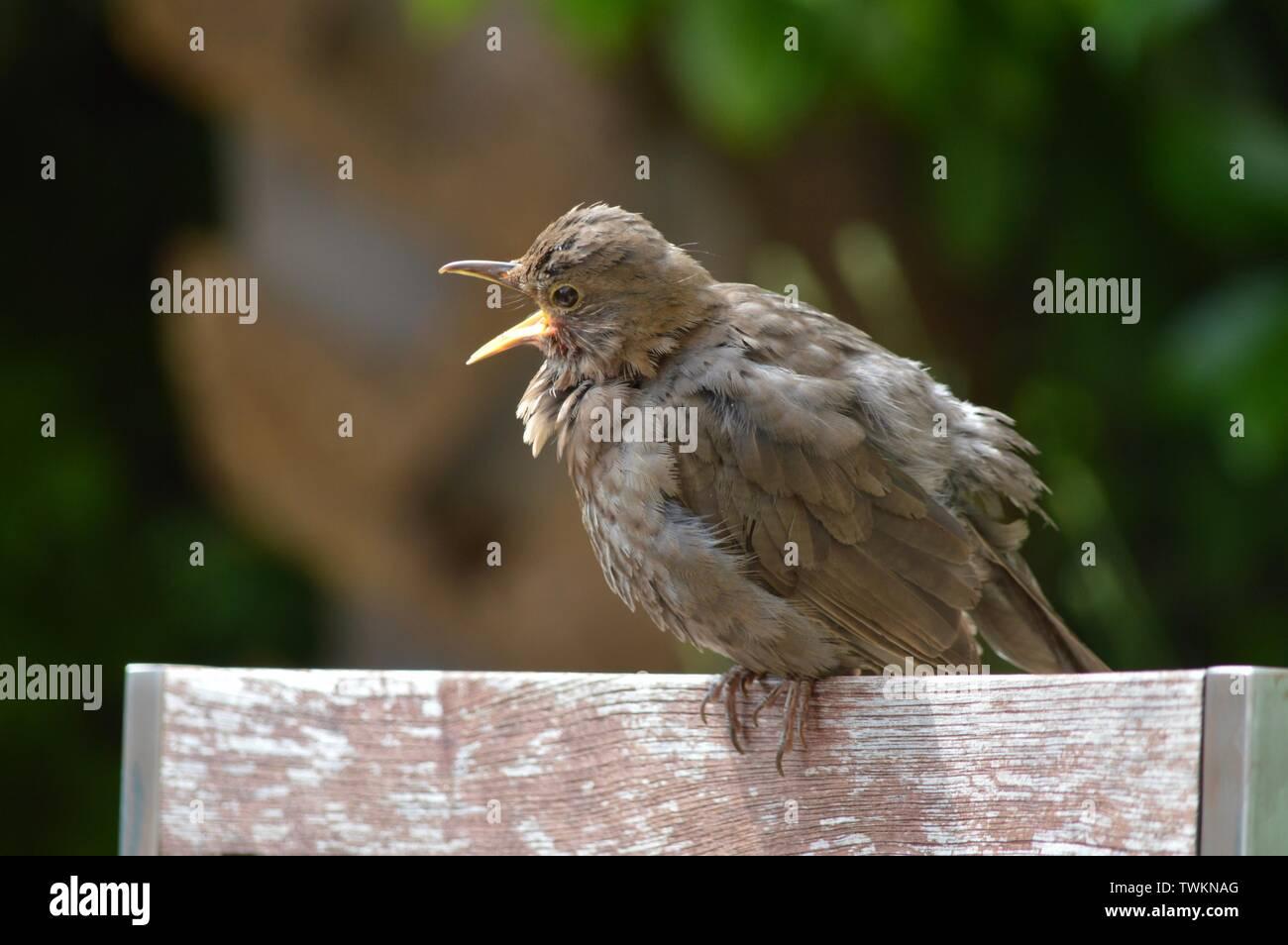 Primer intento - baby bird aprendiendo a volar llamando a su madre Foto de stock