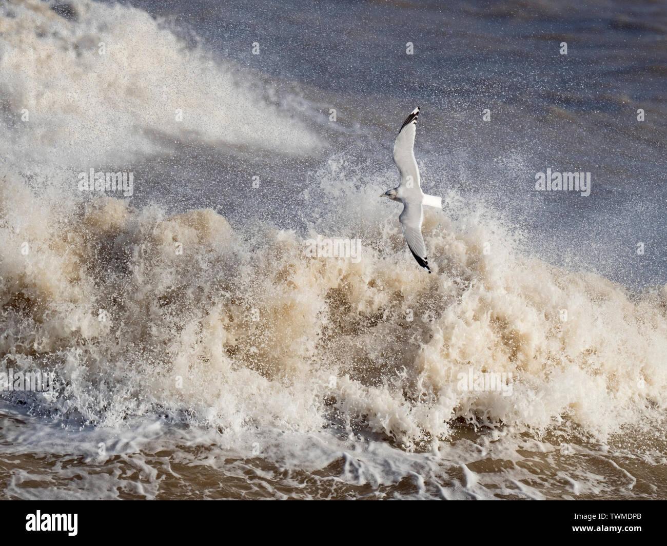 Gaviota común Larus canus sobrevolando el mar embravecido North Norfolk Enero Foto de stock