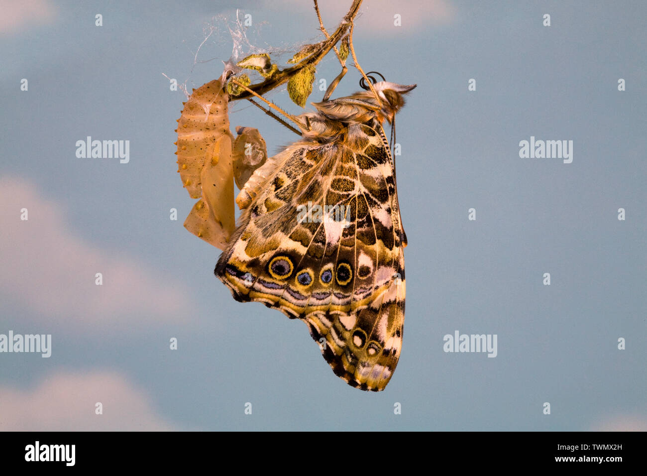 Un Painted Lady butterfly, Vanessa cardui, justo después eclosing (emergentes) de su crisálida. Foto de stock