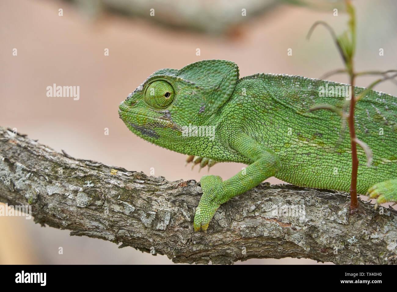 El camaleón común (Chamaeleo camaleón) en el sur de España. Andalucía, Málaga. Reptiles en peligro de extinción. Imagen De Stock