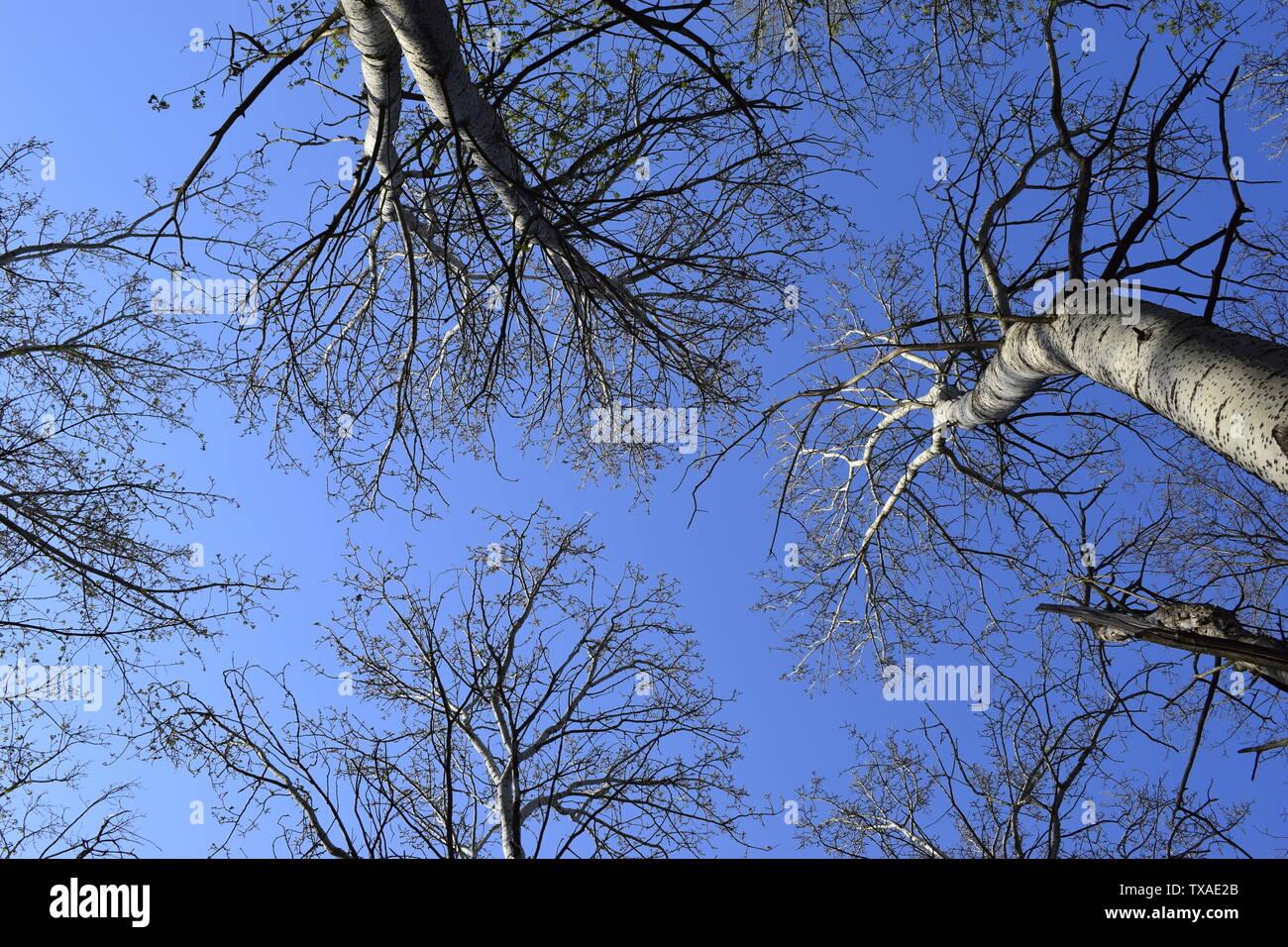 Imagen de los árboles sin hojas con cristal azul del cielo sin nubes. Foto de los árboles sin hojas de la parte inferior (abajo) Imagen De Stock