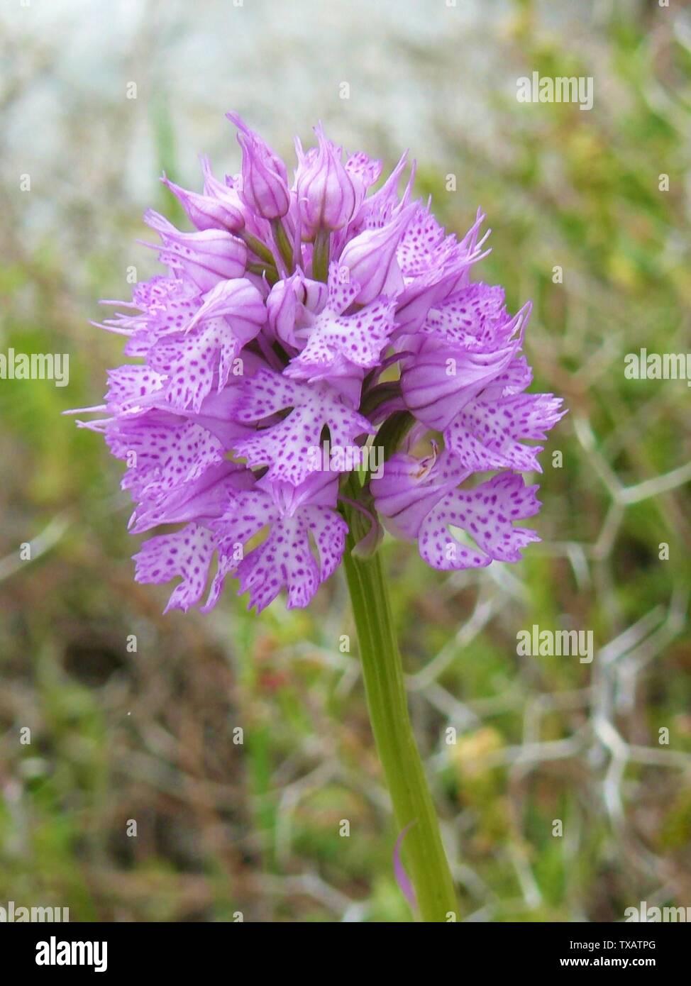 """""""Inglés: tres dientes (orquídeas Neotinea tridentata) en el desierto alrededor Tartej, distrito de Jbeil, Líbano. - Tres dientes de orquídea, distribuidos en el sur de Europa desde España a Turquía y el Líbano; hacia el norte a Crimea, Polonia y Alemania en lugares verdes, bosques, matorral y maquis.; adoptada el 26 de abril de 2009; auto-fotografiados; Elie plus en Wikipedia en inglés; ' Imagen De Stock"""