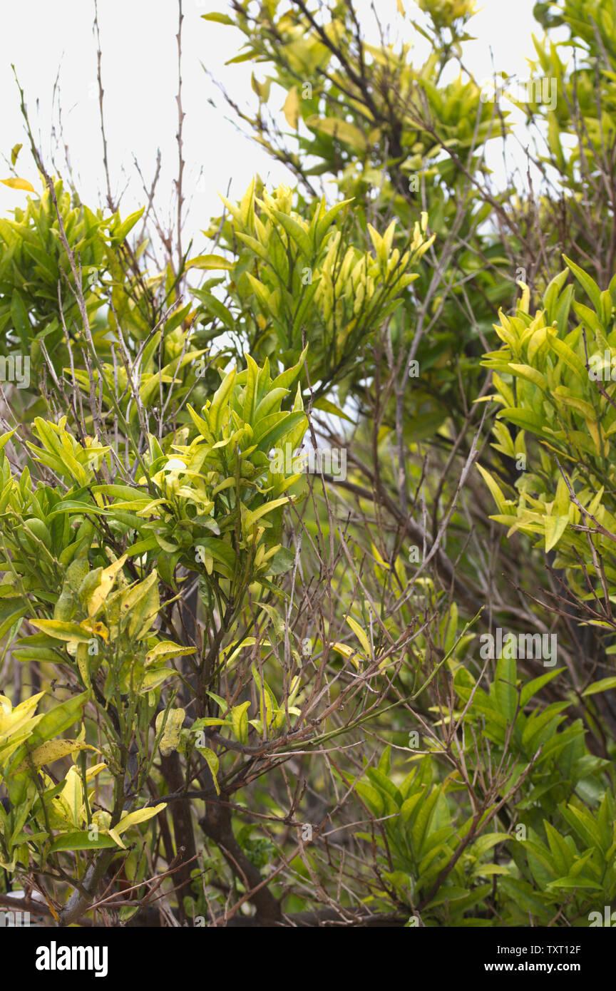 Close-up de un naranjo con muchas de sus sucursales afectadas por alguna enfermedad o infección Foto de stock