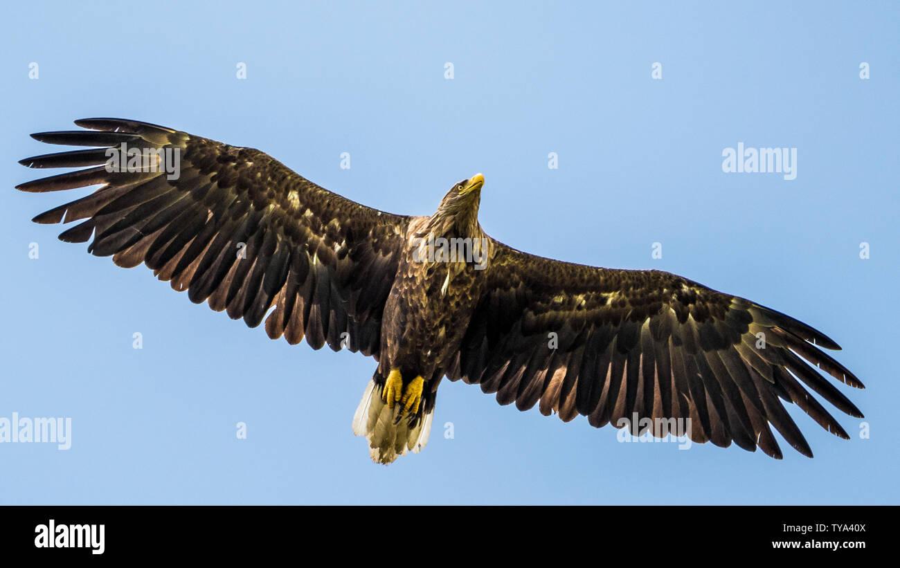 El águila de cola blanca único aislado volando en el cielo -- Delta del Danubio Rumania Foto de stock