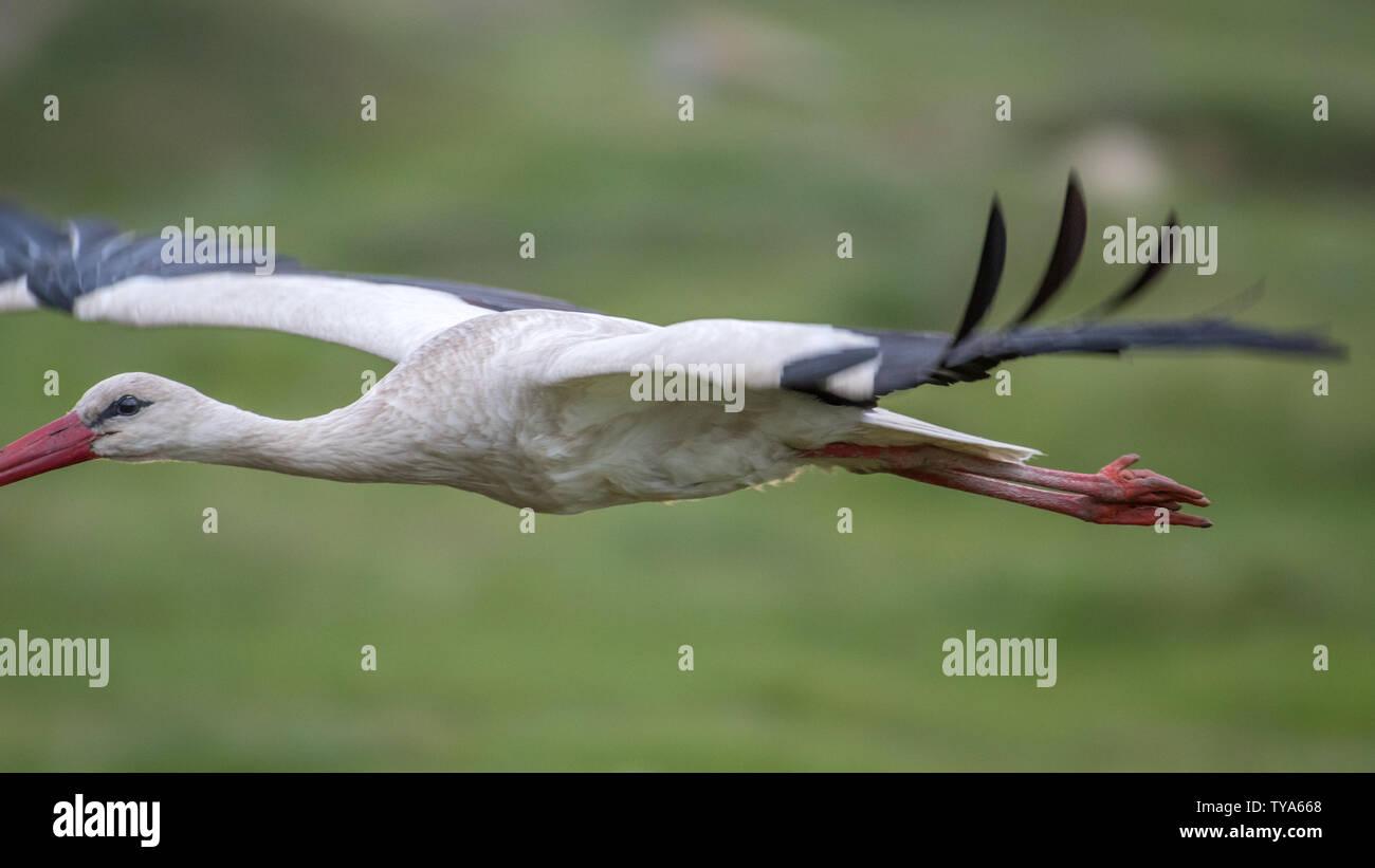 Cierre de un aislado de aves de cigüeña blanca en el medio silvestre- Rumanía Foto de stock