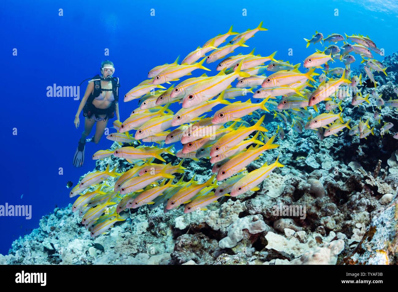 Diver (MR) y escolarización, salmonete, Mulloidichthys vanicolensis rabil, Yap, Micronesia. Foto de stock