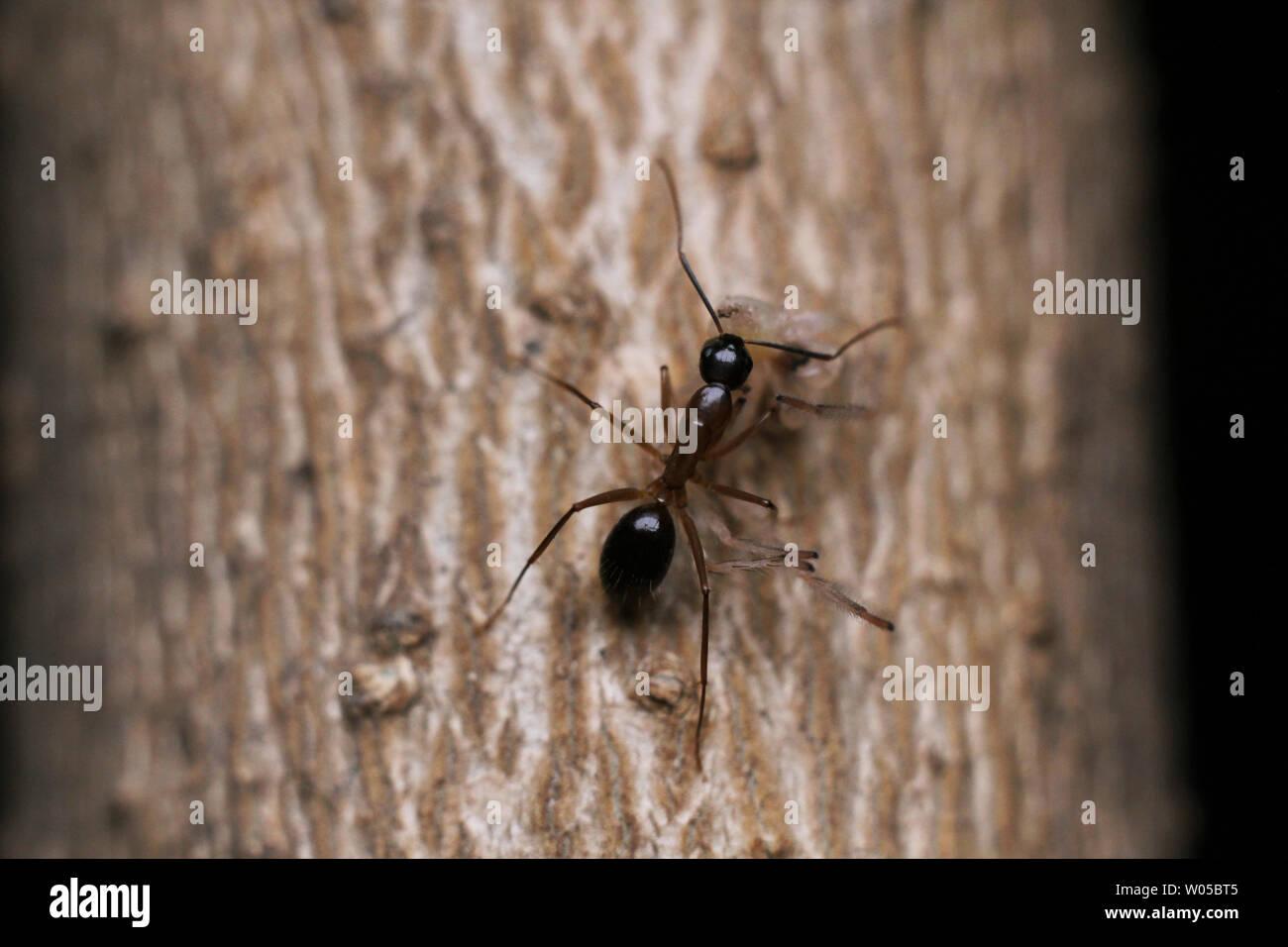 Hormiga de madera. Foto de stock