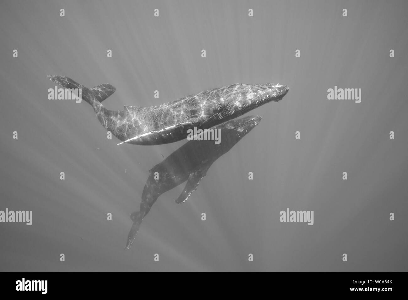 Las ballenas jorobadas Megaptera novaeangliae, submarino, Hawai. Foto de stock