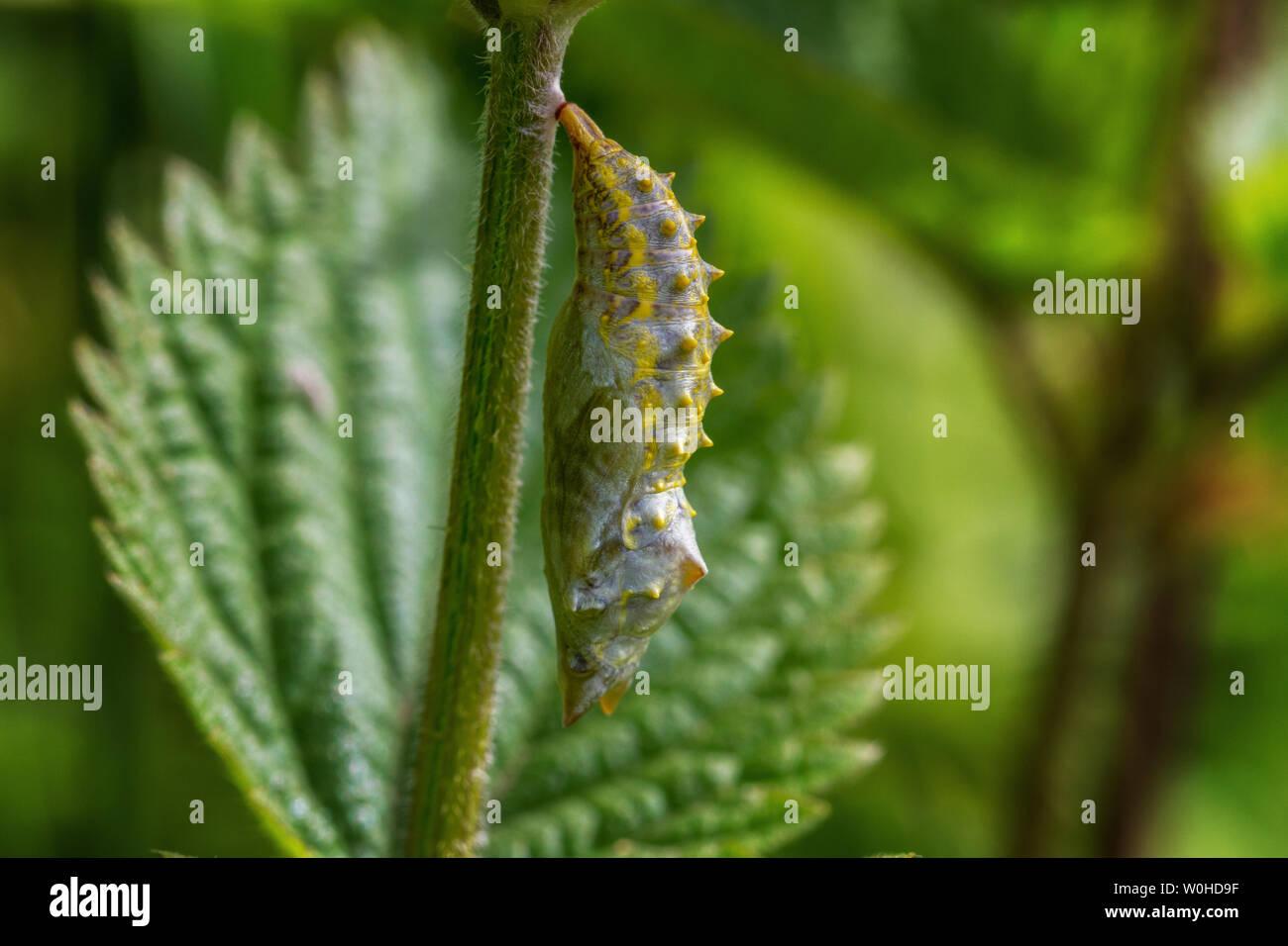 Fauna: Reino Unido pupa de mariposa pavo real en etapas muy tempranas Foto de stock