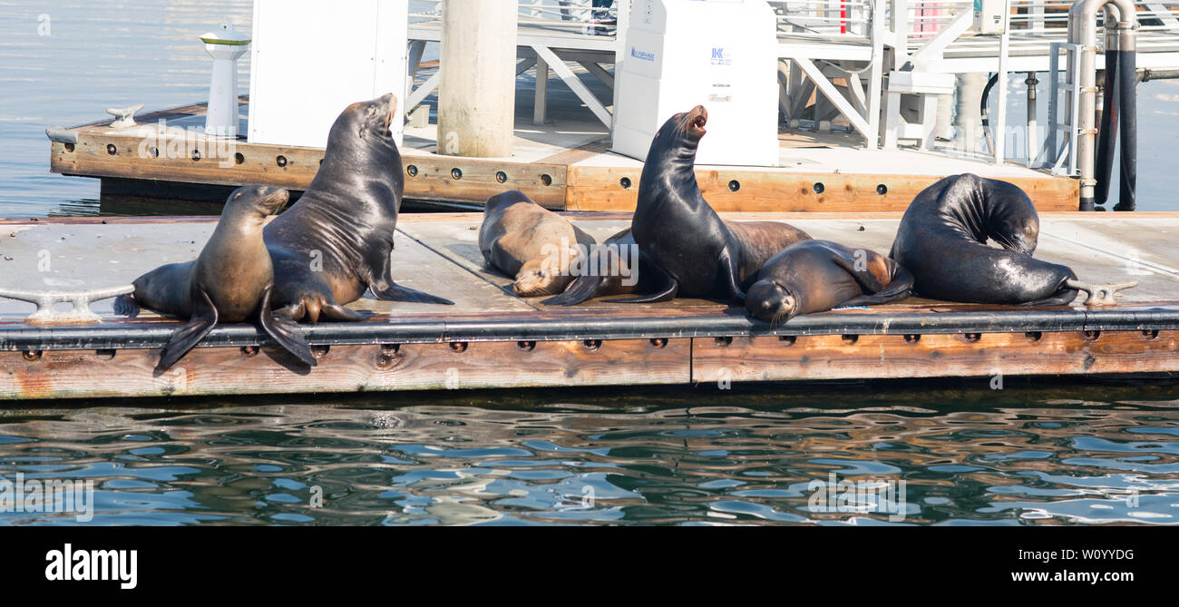 Leones marinos y focas descansando sobre un embarcadero Fisherman Village, Marina del Rey, California Foto de stock