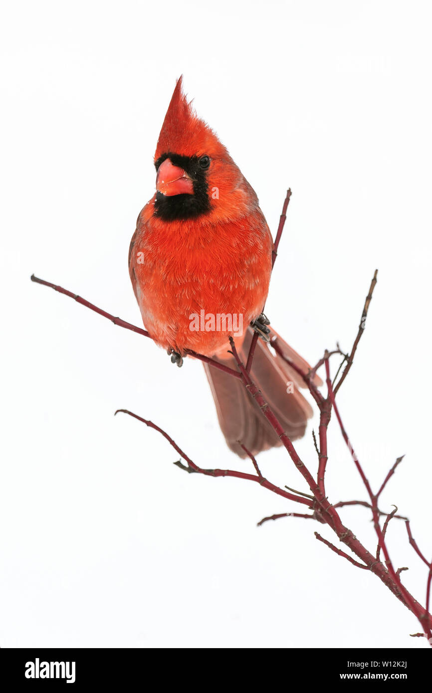 Cardenal norteño masculina (Cardinalis cardinalis), en invierno e América del Norte, por Dominique Braud/Dembinsky Foto Assoc Foto de stock