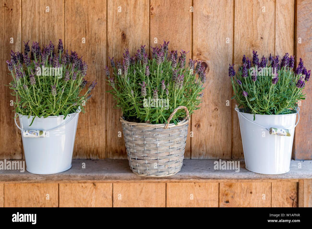 Un bonito bodegón de violeta Lavanda en macetas en De Houten Hoeve, Lady Lavendel, Noordwijk, Holanda Meridional, Países Bajos. Imagen De Stock