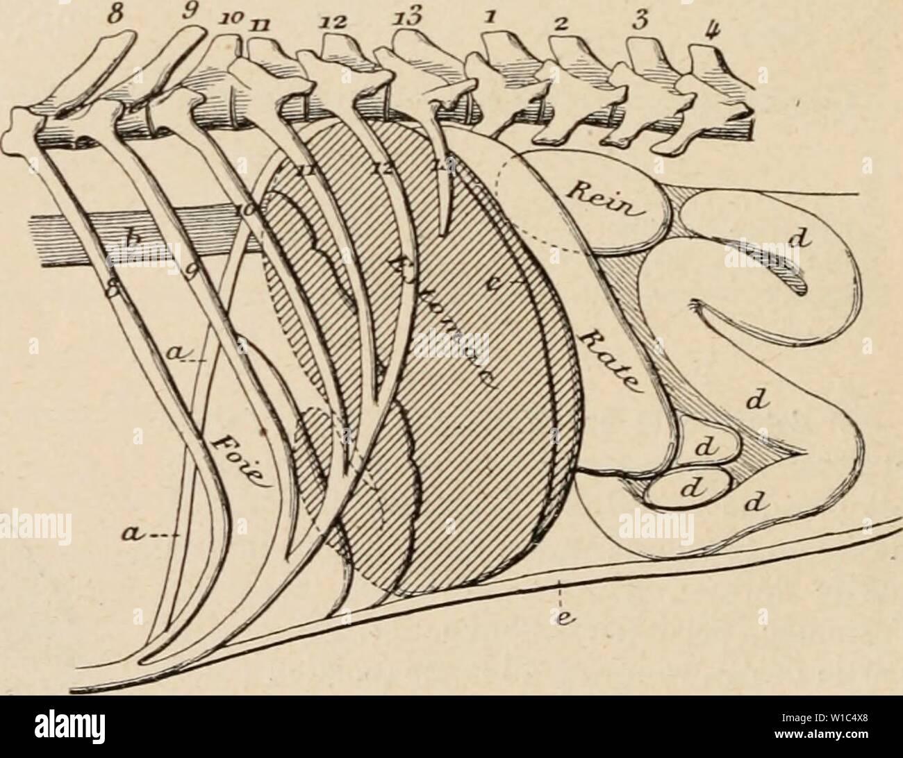 Imagen de archivo de la página 527 del Dictionnaire de physiologie (1898). Dictionnaire de physiologie . dictionnairedeph03ricos Año: 1898 kg. 99. Eslomac vide dans sa posición naturelle (vue latÃ- rale d'une prÃparation congelÃe). D'après Ellenberger et Baum. Le contorno de la partie de l'estomac situÃe sous le foie- ainsi que le contorno de la partie du rein situÃe sous la tasa nominal indiquÃs sont des lignes pointillÃes. Una, diapliragnic (coupÃ); 6, Åsophage; c, inserción du grand Ãpiploon: d, lacets circonvolutions ou de l'intestin grêle; e, paroi abdo- minale. 8×13 cía'tes. entre en contacto Foto de stock