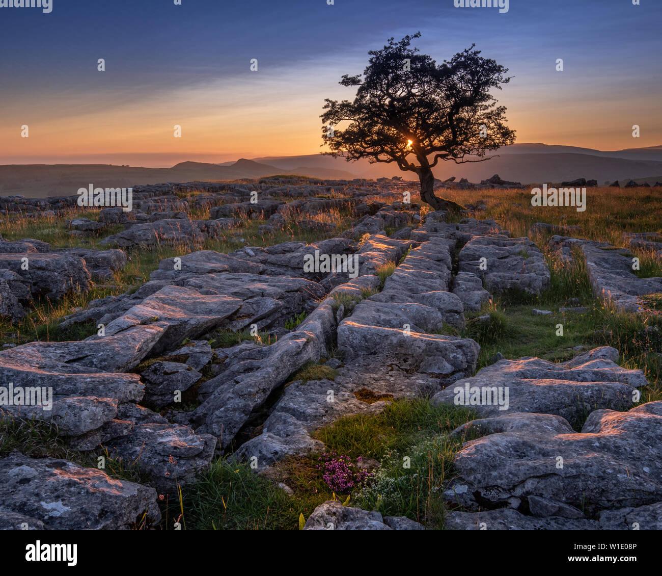 Un solitario árbol erosionados en entre el pavimento de piedra caliza de los Yorkshire Dales National Park Foto de stock