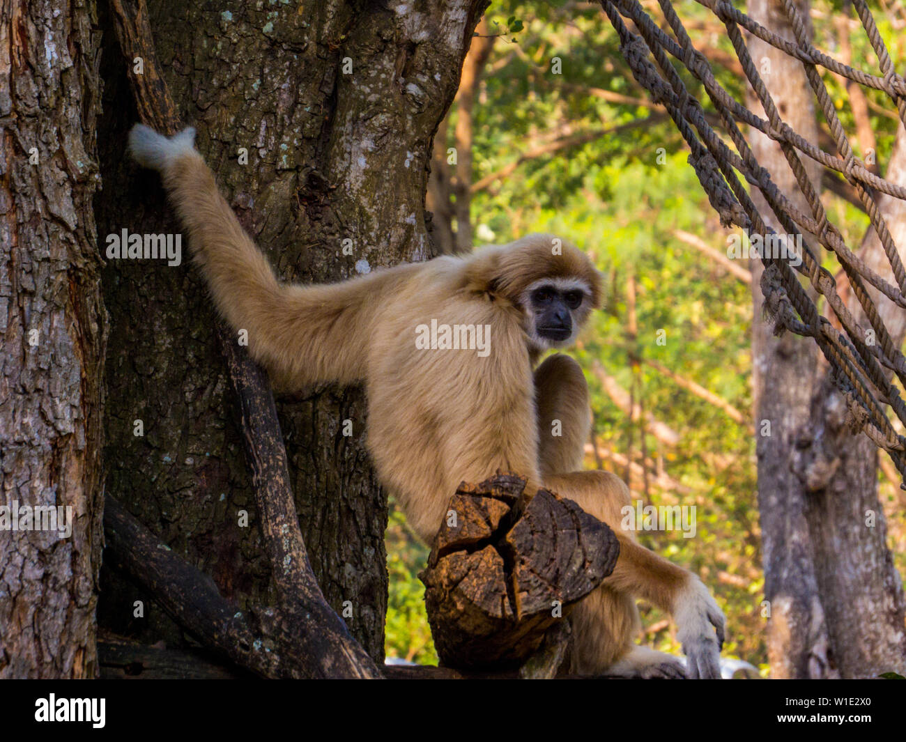 Gibbon en Khao Kheow zoológico abierto, en Sriracha, Chon Buri, Pattaya, Tailandia Foto de stock