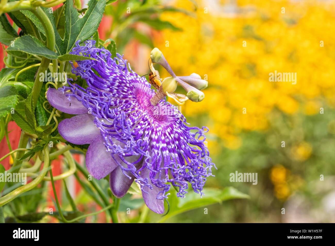 Hermoso púrpura Passionflower, la planta huésped para el Golfo Speyeria orugas de mariposas, florece en verano soleado jardín Foto de stock
