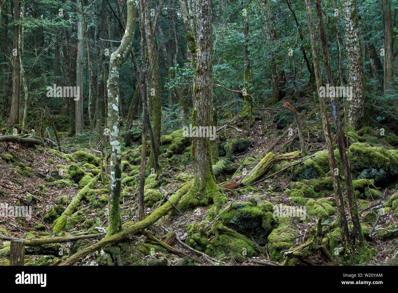 Bosque Aokigahara Conocido Como El Bosque Del Suicidio Cerca Del Monte Fuji En La Prefectura De Yamanashi Japon Lunes 21 De Marzo De 2016 Fotografia De Stock Alamy