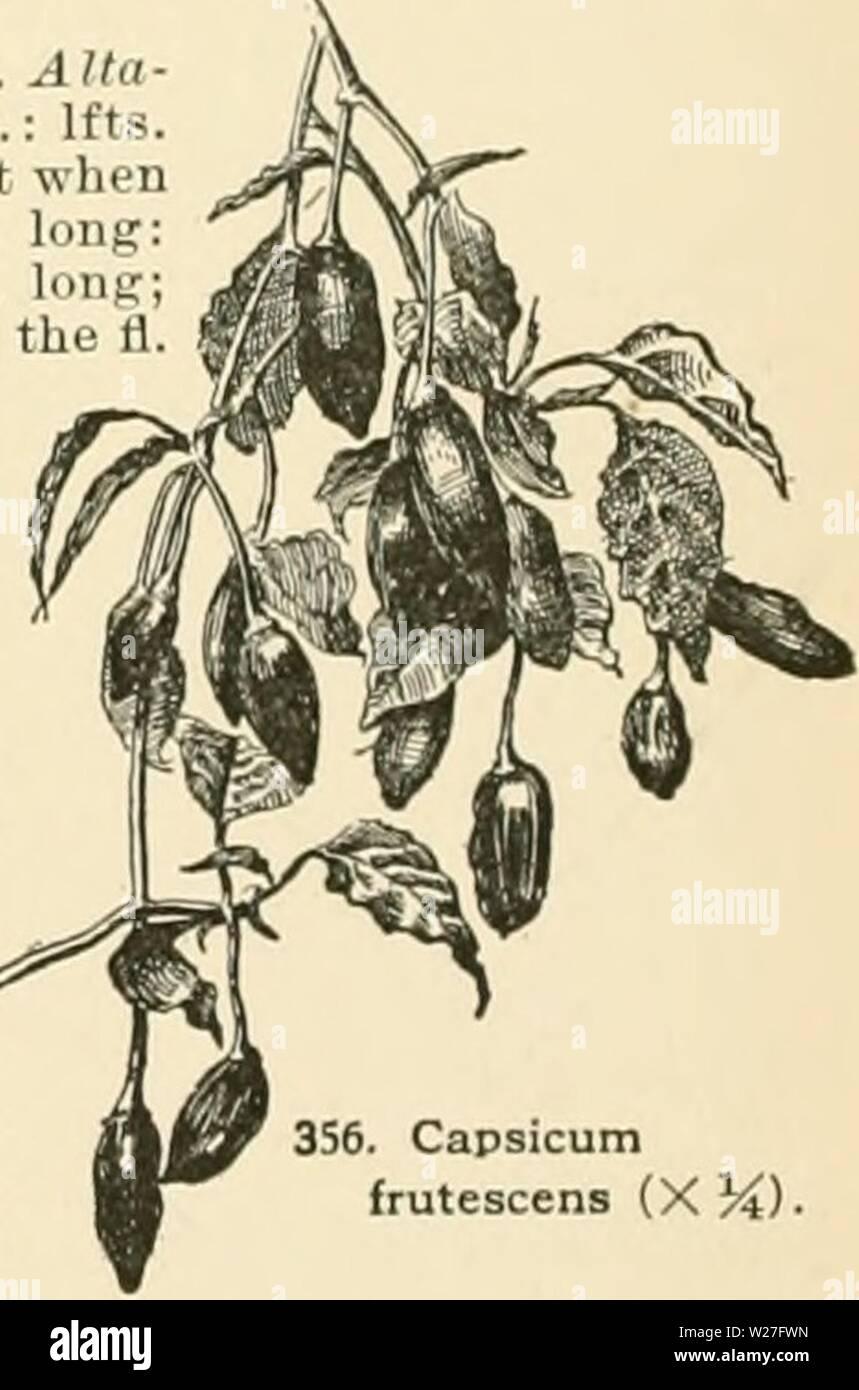 """Imagen de archivo de la página 275 de la Cyclopedia of American horticultura, compuesto. Cyclopedia of American horticultura, compuesto de sugerencias para el cultivo de plantas hortícolas, las descripciones de las especies de frutas, hortalizas, flores y plantas ornamentales se venden en los Estados Unidos y Canadá, junto con geográfico y los Esbozos Biográficos cyclopediaofam01fianza Año: 1900 354. Y flores Foliaee oi Capsicum annuum Ruby Kmg Golden King brasileño dorada vertical vertical Var abbreviaturn bquash 1-1 n ili i' '' )/Â""""Â""""Â"""" Velo G luteiim 1 1111 I s,,,tiri,, estaré ovales 2-4 en long III lu Foto de stock"""
