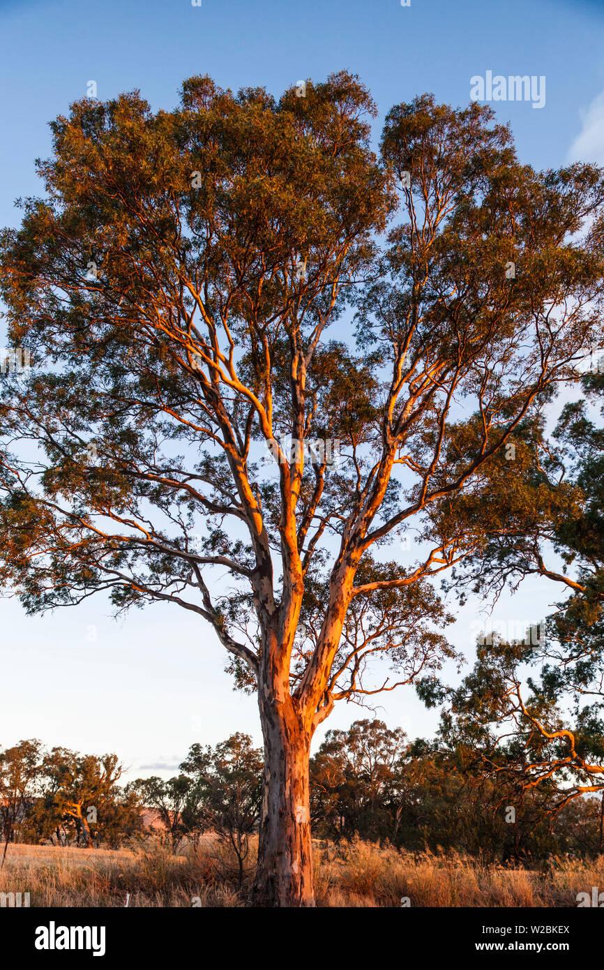Australia, Australia del Sur, el Valle de Barossa, Rowland Flat, goma de mascar árboles en susnet Imagen De Stock
