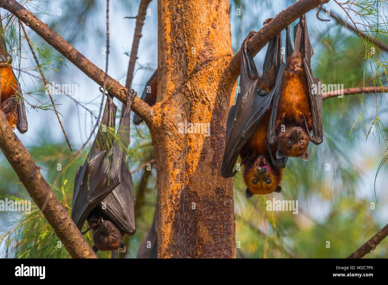 Malasia, Pahang, Pulau Tioman (la isla de Tioman), pequeña isla o Flying Fox (Pteropus hypomelanus) Foto de stock