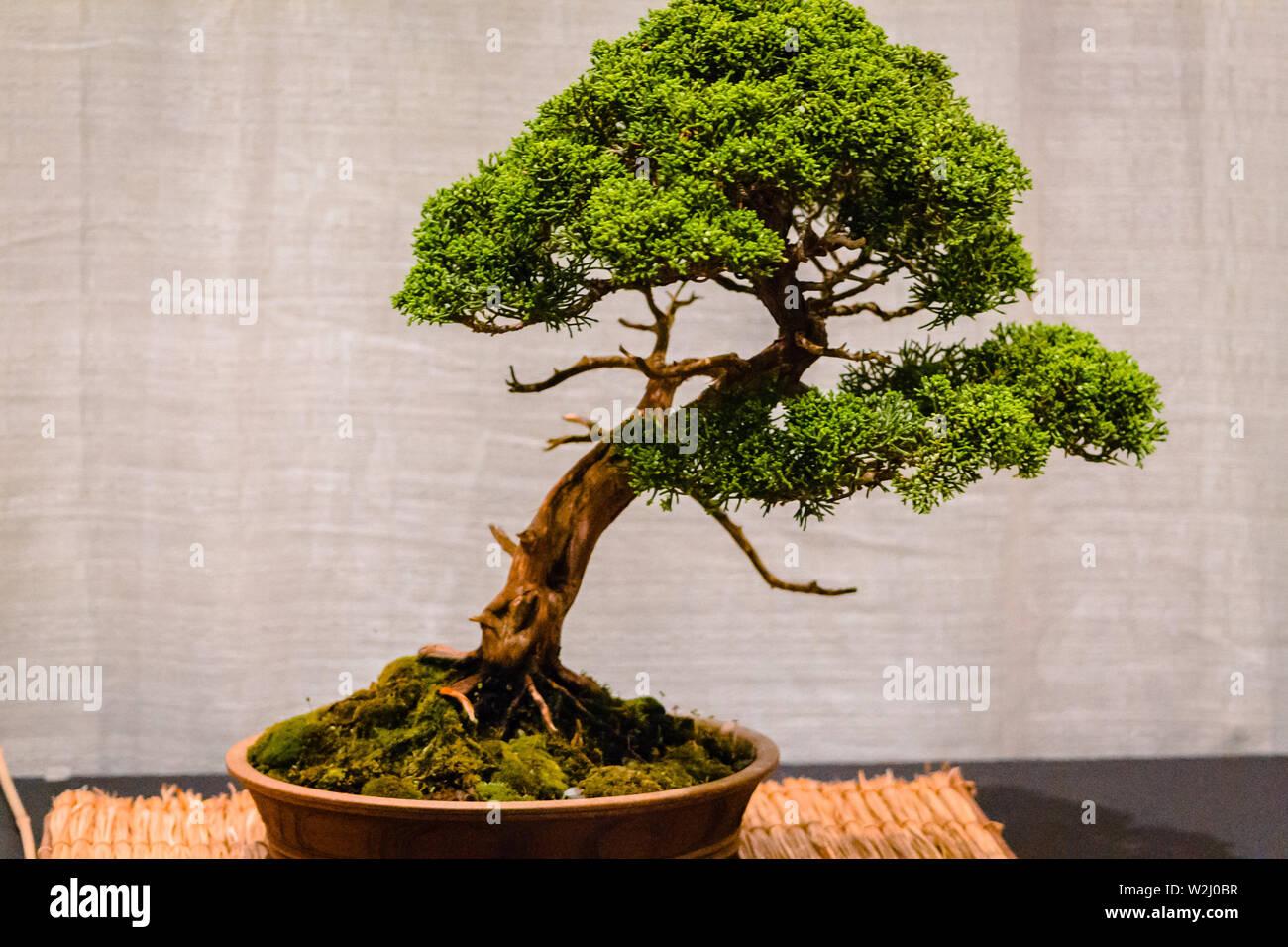 Bonsai está mostrando en el Frederik Meijer Gardens en Grand Rapids, Míchigan Foto de stock