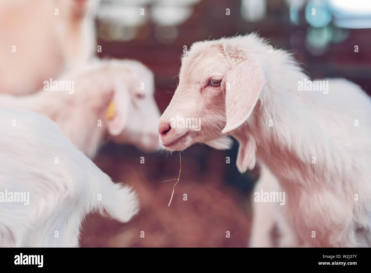 Lindo bebé cabrito en lápiz en finca ganadera, adorable retrato de animales domésticos Foto de stock