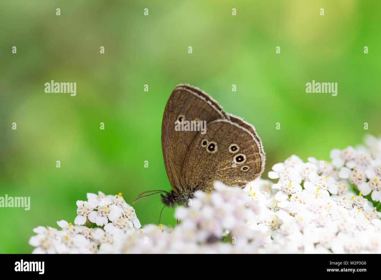 Una mariposa (Aphantopus hyperantus marrón) chupar néctar de pequeñas flores blancas sobre un fondo verde Foto de stock