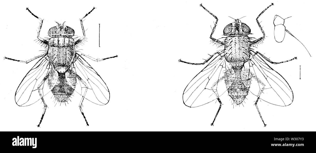 PSM V58 D264 Muscina stabulans y phorria cinerella Foto de stock
