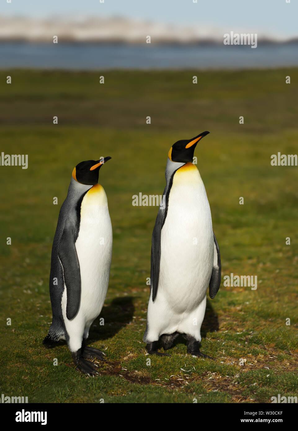 Cerca de pingüinos rey (Aptenodytes patagonicus) en las Islas Malvinas. Foto de stock