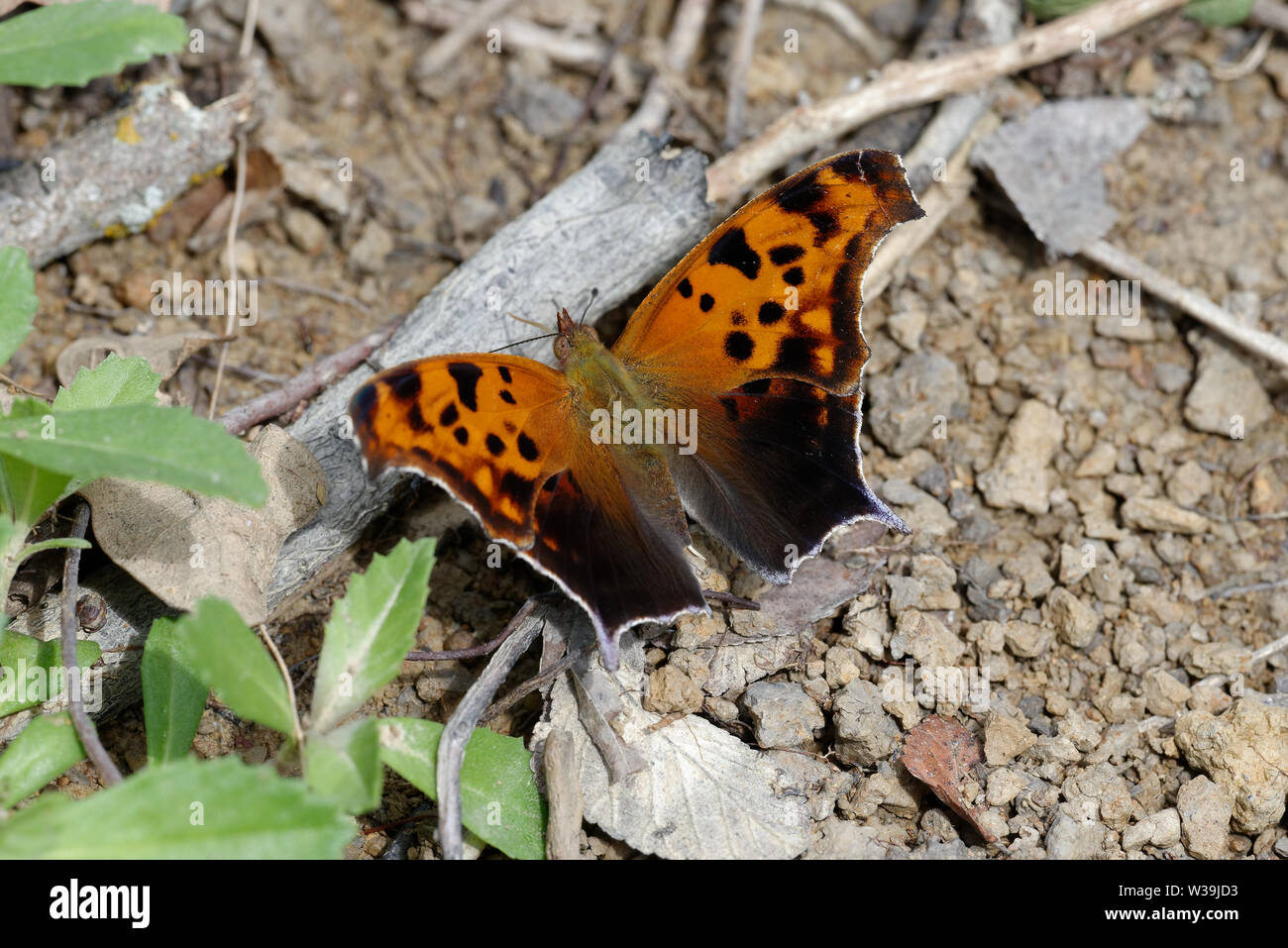 Signo de interrogación, Polygonia interrogationis Foto de stock