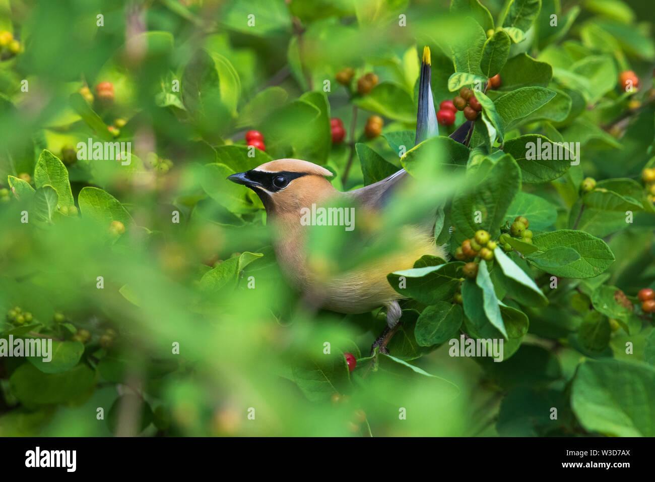 Cedar waxwing alimentando una Morrow's honeysuckle bush. Imagen De Stock