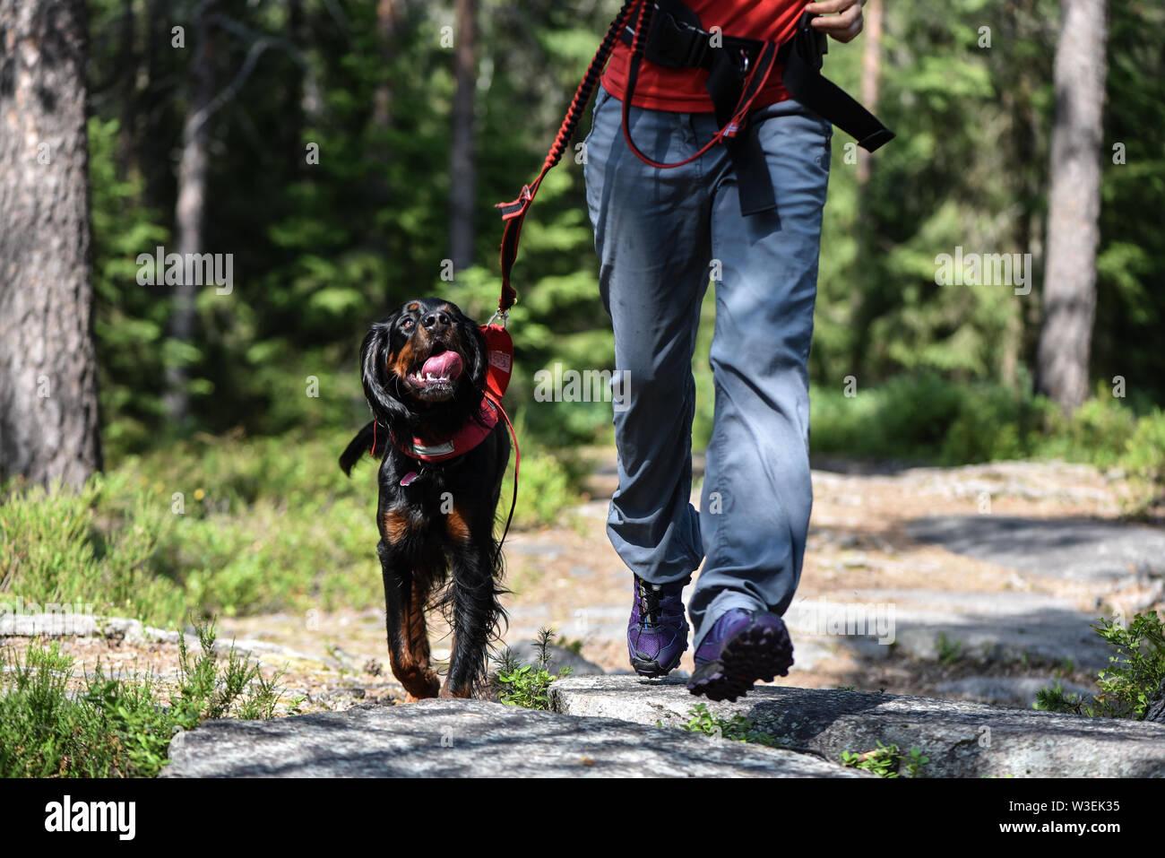 Mujer caminando en el bosque con un setter de Gordon Foto de stock