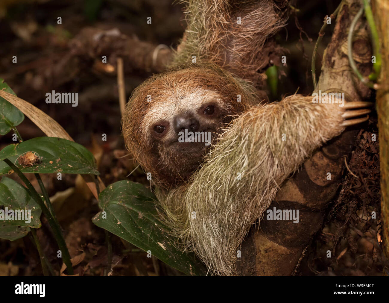 Tres Brown-Throated vetado Sloth Foto de stock